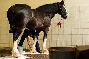 A Heineken staff member washes a rare Shire horse before driving, at the historical Heineken brewery in Amsterdam, the Netherlands, June 2018. - Kristel  Richard