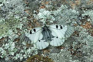 Clouded apollo (Parnassius mnemosyne) on lichen covered rock. Catllar, Pyrenees Orientales, south west France. May.  -  Robert  Thompson