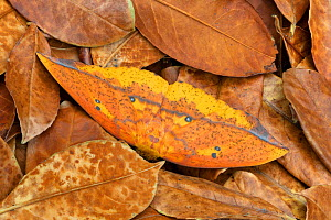 Saturniid moth (Eacles ormondei), female camouflaged in leaf litter. Izabal, Guatemala.  -  Robert  Thompson