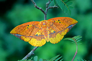 Saturniid moth (Eacles ormondei), female resting on branch. Izabal, Guatemala.  -  Robert  Thompson