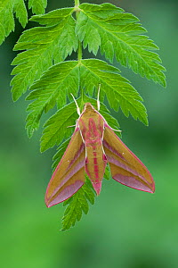 Elephant hawk-moth (Deilephila elpenor) on leaf. Released from captivity, larvae collected previous year. Banbridge, County Down, Northern Ireland, UK. May.  -  Robert  Thompson
