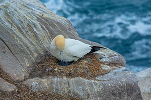 Gannet (Morus bassanus), parent on nest with chick. Cliff ledge on Great Saltee Island. Saltee Islands, County Wexford, Republic of Ireland. June. - Robert  Thompson