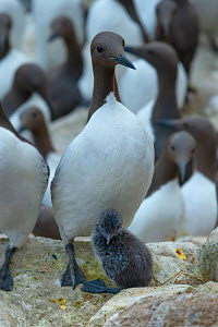 Guillemot (Uria aalge), parent and chick in breeding colony. Great Saltee Island, Saltee Islands, County Wexford, Republic of Ireland. June. - Robert  Thompson