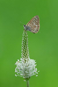 Lang's short-tailed blue butterfly (Leptotes pirithous) resting on top of Plantain (Plantago sp) flowerhead. South of Casteil, Pyrenees Orientales, south west France. May.  -  Robert  Thompson
