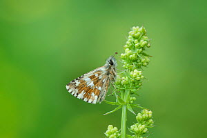 Large grizzled skipper (Pyrgus alveus) on Bedstraw (Galium sp), Fillols, Pyrenees Orientales, south west France. May. - Robert  Thompson