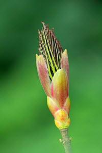 Maple / Sycamore (Acer sp) bud opening, Republic of Ireland. April. - Robert  Thompson