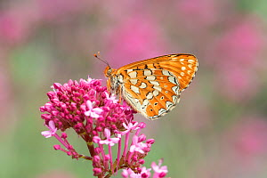 Marsh fritillary (Euphydryas aurinia) on pink flower. South of Casteil, Pyrenees Orientales, south west France. May. - Robert  Thompson