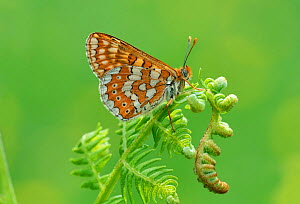 Marsh fritillary (Euphydryas aurinia) on fern. South of Casteil, Pyrenees Orientales, south west France. May. - Robert  Thompson