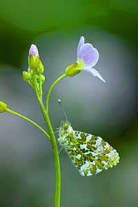 Orange-tip butterfly (Anthocharis cardamines), male on Cuckooflower (Cardamine pratensis). Brackagh Moss National Nature Reserve, Portadown, County Armagh, Republic of Ireland. May.  -  Robert  Thompson