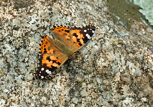 Painted lady butterfly (Vanessa cardui) on stone background. Catllar, Pyrenees Orientales, south west France. May. - Robert  Thompson