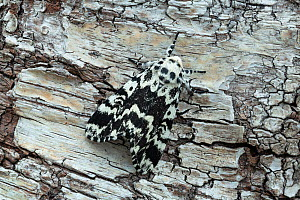 Noctuiid moth (Panthea coenobita) resting on bark. Ostretin, Pardubice, Czech Republic. April. - Robert  Thompson