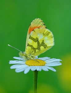 Provence orange-tip butterfly (Anthocharis euphenoides) resting on Oxeye daisy (Leucanthemum vulgare). South of Casteil, Pyrenees Orientales, south west France. May. - Robert  Thompson