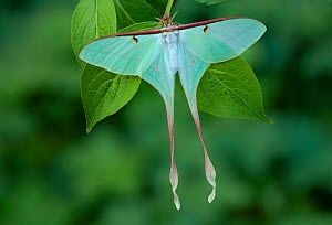 Chinese moon moth (Actias dubernardi), female. Dayaoshan, Jinxin, Guangxi, China. - Robert  Thompson