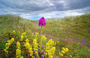 Pyramidal orchid (Anacamptis pyramidalis) amongst Lady's bedstraw (Galium verum) in dunes. Carrigart / Carrickart and Downings, County Donegal, Republic of Ireland. July  -  Robert  Thompson