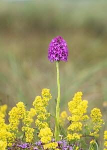 Pyramidal orchid (Anacamptis pyramidalis) amongst Lady's bedstraw (Galium verum). Carrigart / Carrickart and Downings, County Donegal, Republic of Ireland. July.  -  Robert  Thompson