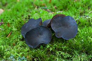 Black bulgar fungus (Bulgaria inquinans) growing amongst mosses, Tollymore Forest, County Down, Northern Ireland, UK. September. - Robert  Thompson