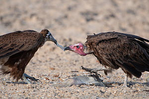 Hooded vulture (Necrosyrtes monachus), adult and juvenile fighting over fish, Gambia.  -  Bernard Castelein