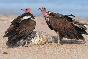 Hooded vulture (Necrosyrtes monachus), two standing with fish, Gambia . - Bernard Castelein