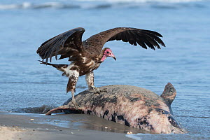 Hooded vulture (Necrosyrtes monachus), juvenile standing on dolphin washed up on beach, Gambia.  -  Bernard Castelein