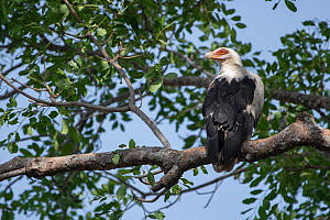 Palm-nut vulture (Gypohierax angolensis) perched in tree, Gambia. - Bernard Castelein