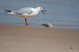 Slender-billed gull (Chroicocephalus genei) standing at water's edge with fish, Gambia.  -  Bernard Castelein