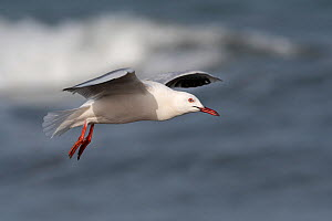 Slender-billed gull (Chroicocephalus genei) in flight, Gambia.  -  Bernard Castelein