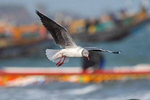 Grey-headed gull (Larus cirrocephalus) in flight, Tanji, Gambia.  -  Bernard Castelein