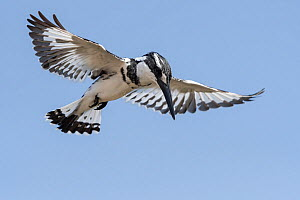 Pied kingfisher (Ceryle rudis) hovering, Gambia.  -  Bernard Castelein