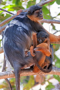 Temminck's western red colobus (Piliocolobus temminckii), mother and baby in tree, Gambia. - Bernard Castelein