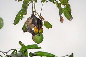 Straw-coloured fruit bat (Eidolon helvum) feeding. Lamin, Gambia. - Bernard Castelein