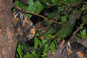 Straw-coloured fruit bat (Eidolon helvum), group roosting. Lamin, Gambia. - Bernard Castelein