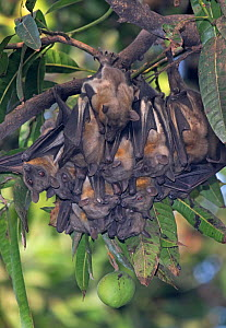 Straw-coloured fruit bat (Eidolon helvum) colony roosting, Lamin, Gambia. - Bernard Castelein