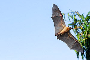 Straw-coloured Fruit Bat (Eidolon helvum), Lamin, Gambia. - Bernard Castelein