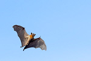 Straw-coloured fruit bat (Eidolon helvum), male flying, Lamin, Gambia. - Bernard Castelein