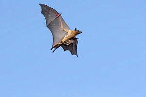 Straw-coloured fruit bat (Eidolon helvum), female flying carrying pup on front. Lamin, Gambia. - Bernard Castelein
