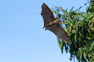 Straw-coloured fruit bat (Eidolon helvum), female flying carrying young on front. Lamin, Gambia. - Bernard Castelein