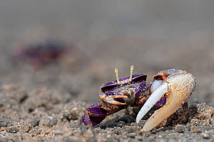 West African fiddler crab (Uca tangeri) male with large claw, Gambia.  -  Bernard Castelein