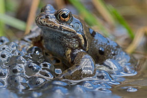 Common Frog (Rana temporaria) Brasschaat, Belgium. March  -  Bernard Castelein