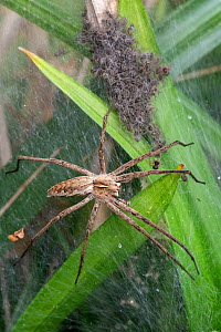 Nursery web spider (Pisaura mirabilis), female looking after spiderlings, Brasschaat, Belgium. June - Bernard Castelein