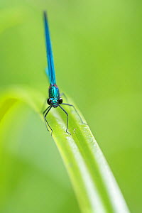 Beautiful demoiselle damselfly (Calopteryx virgo) male, Peerdsbos, Brasschaat, Belgium. June  -  Bernard Castelein