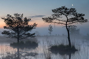 Scots pine trees (Pinus sylvestris) in wetlands at dawn with the moon, Klein Schietveld, Brasschaat, Belgium  -  Bernard Castelein