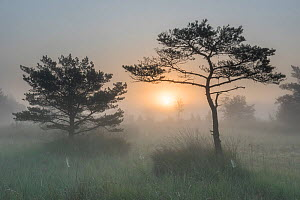 Scots pine tree (Pinus sylvestris) at sunrise, Klein Schietveld, Brasschaat, Belgium. September.  -  Bernard Castelein