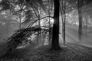Beech woodland (Fagus sylvatica) with sun rays shining through, black and white image.  Peerdsbos, Brasschaat, Belgium  -  Bernard Castelein