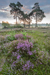 Heather (Calluna vulgaris) at dawn, with distant trees, Klein Schietveld, Brasschaat, Belgium - Bernard Castelein