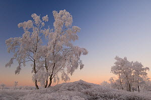 Birch tree (Betula pendula) covered in hoar frost, Groot Schietveld, Wuustwezel, Belgium, December 2007. - Bernard Castelein