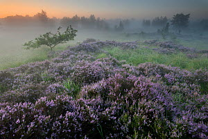 Oak (Quercus robur) in Heather (Calluna vulgaris) at sunrise, Klein Schietveld, Brasschaat, Belgium  -  Bernard Castelein