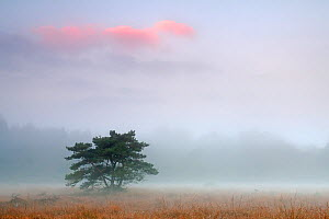 Scot's pine tree (Pinus sylvestris) at dawn, Klein Schietveld, Brasschaat, Belgium, October 2013.  -  Bernard Castelein