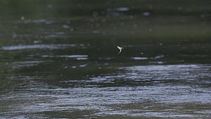 Adult Mayflies (Ephemoptera) in flight, River Kennet, Berkshire, Hungerford, Berkshire, England, UK, June. - John Waters