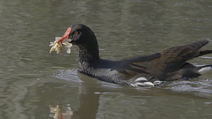 Moorhen (Gallinula chloropus) predating Mayflies (Ephemoptera) from the River Kennet, Hungerford, Berkshire, England, UK, June. - John Waters