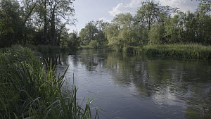 Scenic of the River Kennet during the Mayfly (Ephemoptera) hatching season, with a Brown trout (Salmo trutta) jumping out of the water, Hungerford, Berkshire, England, UK, June. - John Waters